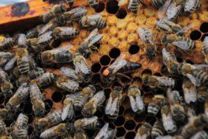 Buckfast Bienenkönigin